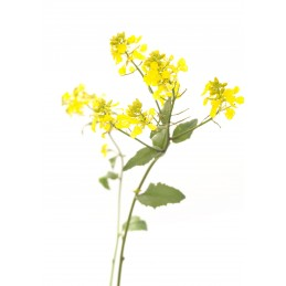 Mustard 20ml