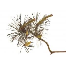Pine 20ml