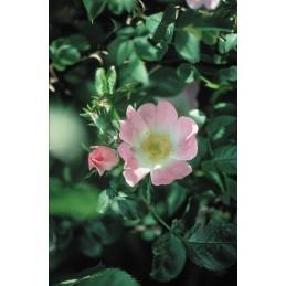 Wild Rose - Divoká růže 20ml