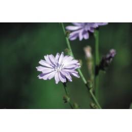 Chicory 20ml